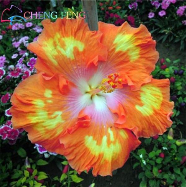 Гигантский цветок гибискуса семена харди как выращивать