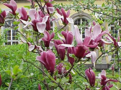 magnoliyauxodvirashivaniepolivposadkavdo_88B41B8A.jpg