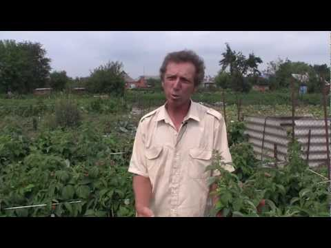 П ильский гуленин михаил васильевич выращивает малину