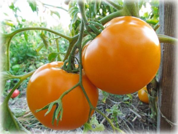 Семена оранжевых томатов