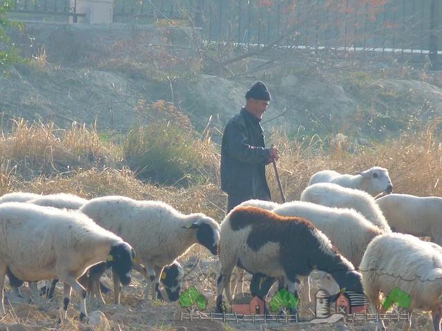 каких овец выгодно разводить