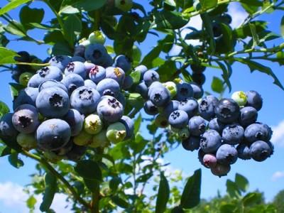 Лучшие сорта голубики садовой для Подмосковья