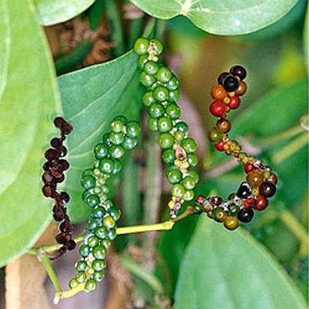 Перец горошком растение