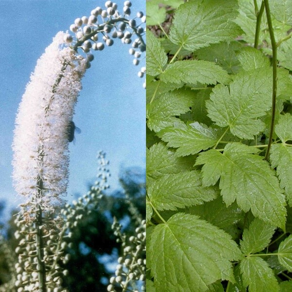 Клопогон посадка и уход, фото в открытом грунте, выращивание и размножение сорта, сочетание в ландшафтном дизайне