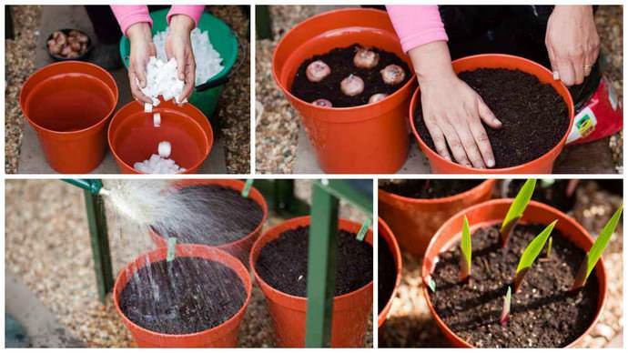 Как вырастить крупные гладиолусы из деток