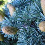 Как не дать ели вырасти высокой. Как вырастить голубую ель — технология выращивания из семян и черенков