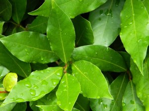 Выращивание лаврового листа