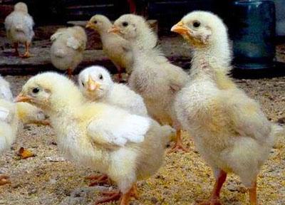 Особенности выращивания цыплят бройлеров советы по кормежке!