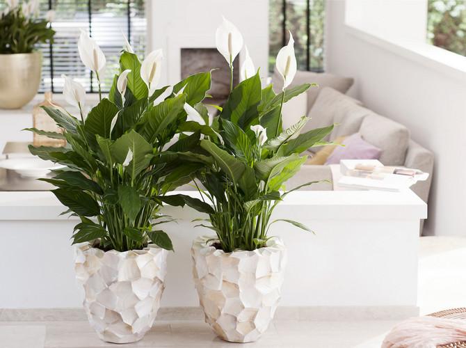 Как выращивать цветок женское счастье в домашних условиях?
