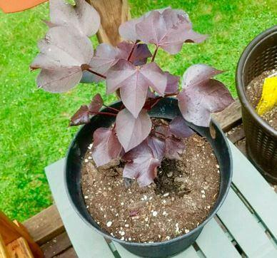 Как выращивать хлопок в домашних условиях?