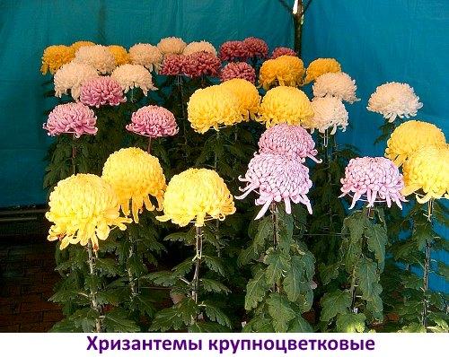 Когда сажать семена хризантемы на рассаду