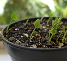 Как сажать семена антуриума
