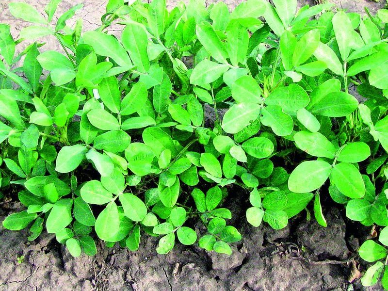 Как вырастить земляной орех на даче
