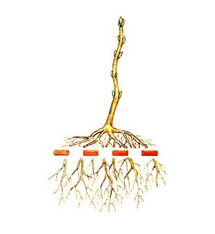 Семена бонсай посадка