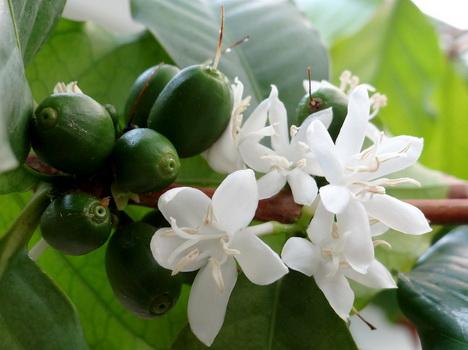 Растение кофе арабика
