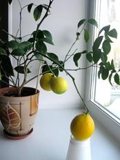 Как вырастить лимон из косточки в домашних