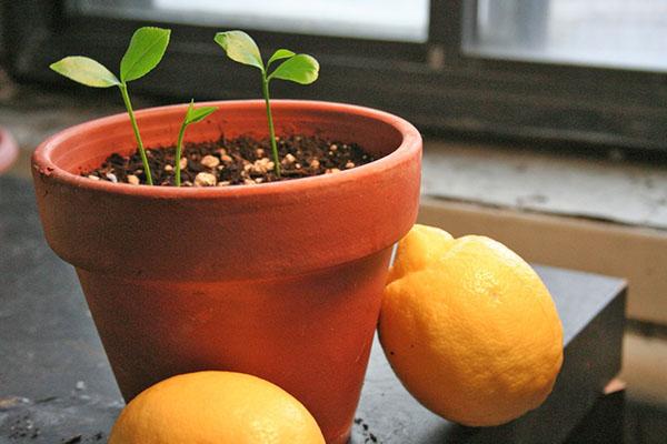 Нужно ли прививать лимон выращенный из косточки