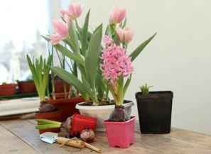 Луковичные растения дома