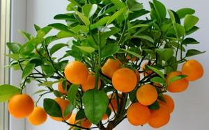 Семена мандарин