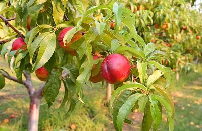 Как правильно вырастить нектарин выбор сорта посадка и уход способы размножения