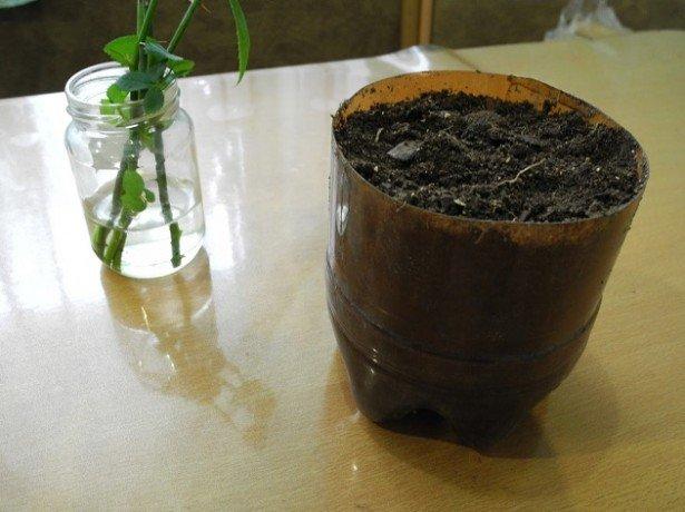 Можно ли выращивать чайно гибридные розы в горшках дома?