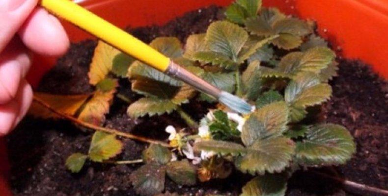 как правильно выращивать клубнику в домашних условиях