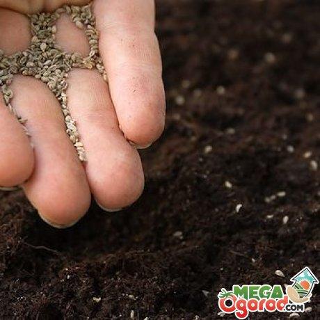 Комнатная гвоздика: виды и сорта, сроки и правила посадки семенами, предпосевная подготовка материала, особенности ухода в домашних условиях