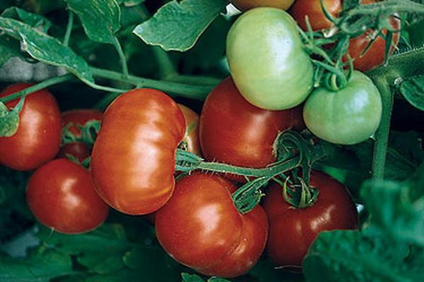 Розовые помидоры описание наиболее урожайных сортов