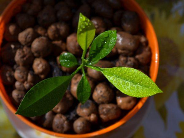 Как выращивать лайм в домашних условиях?