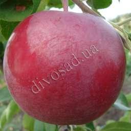 Распространенные сорта яблок