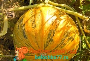 Овощ похожий на тыкву