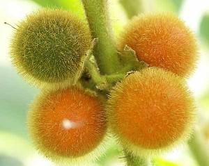 Как вырастить богатые витамином С ягоды физалиса на участке