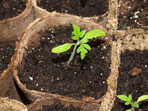 Выращиваем комнатные огурцы и помидоры на балконе