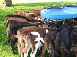 Как кормить бычков на откорм