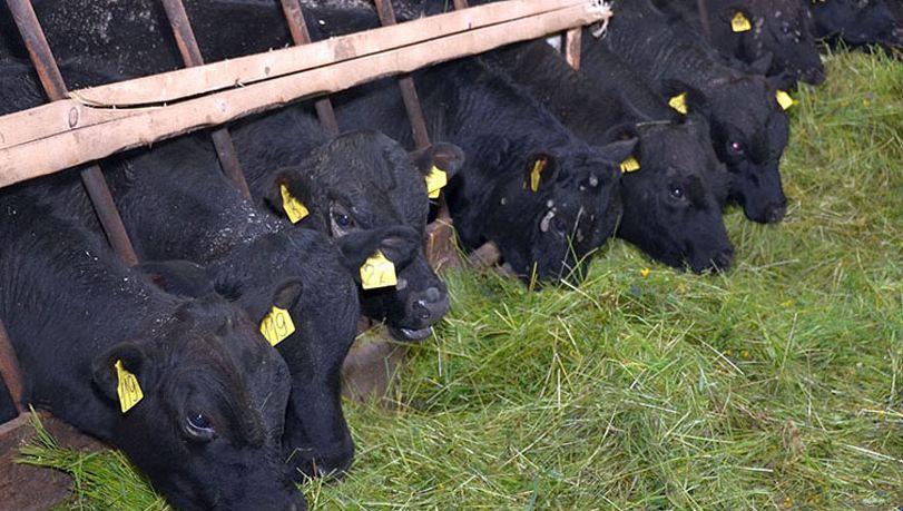 Содержание телят на ферме