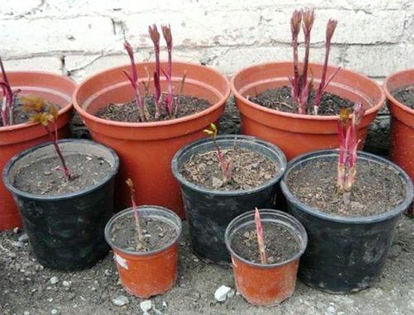 Пионы в горшке можно ли выращивать комнатные пионы дома Правила посадки домашних пионов в квартире весной и в другое время года