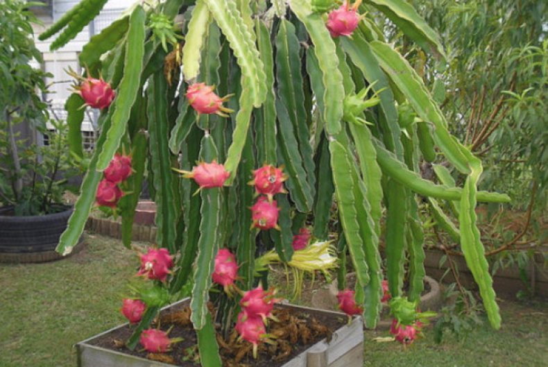 Питахайя фрукт как растет
