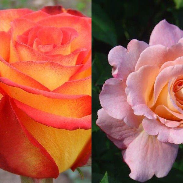думали, формы и сорта полиантовых роз с фото частности