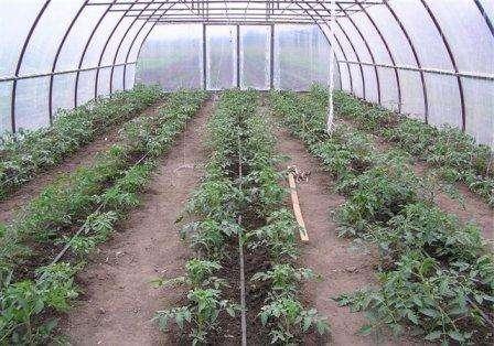 Уход за помидорами в поликарбонатной теплице