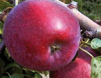 """Сорт яблони """"Кубанское багряное"""" — Сорта Вики Ру"""
