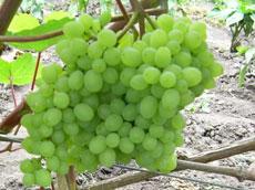 Кишмишные сорта винограда