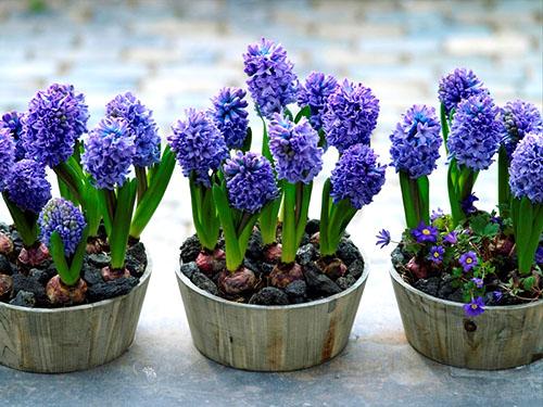 Можно ли выращивать гиацинт в домашних условиях{q}