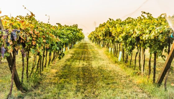 Посадка винограда осенью в среднем поволжье