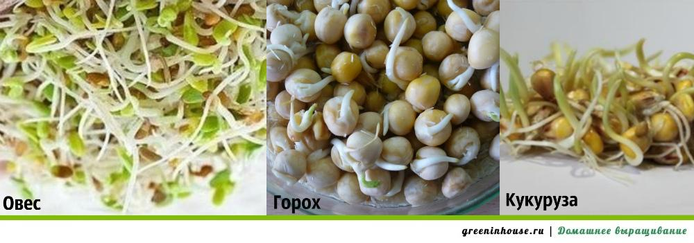 Как выращивать пшеницу в домашних условиях{q}