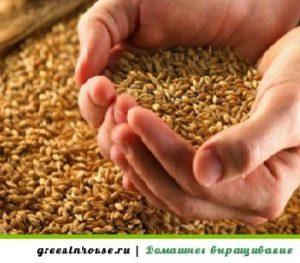 Как выращивать пшеницу в домашних условиях?
