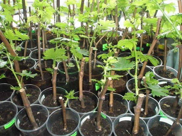 выращиваем черенки смородины домашних условиях