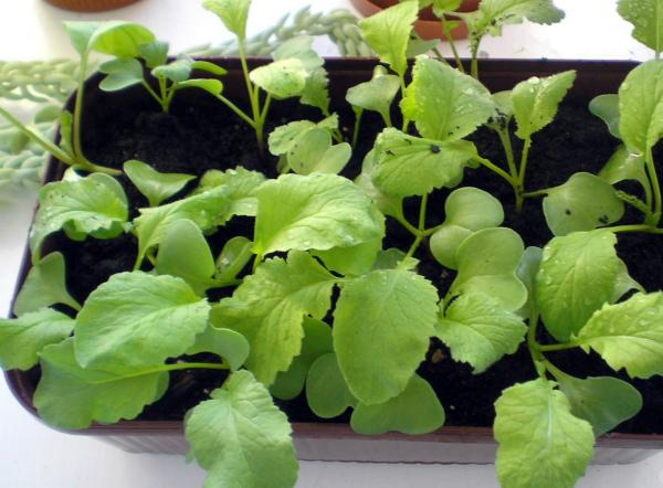 Редис на подоконнике выращивание