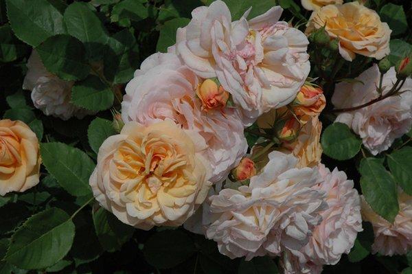 Английские розы - история, как их сажать и ухаживать