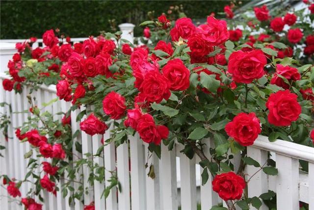 Вырастить розу из семян в домашних условиях