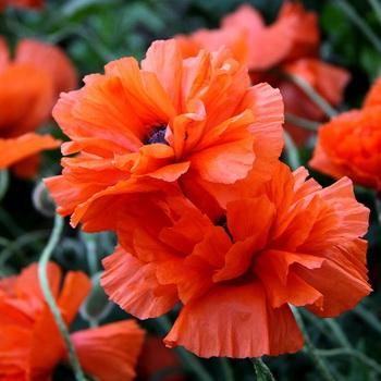 Можно ли выращивать декоративный мак на садовом участке{q}